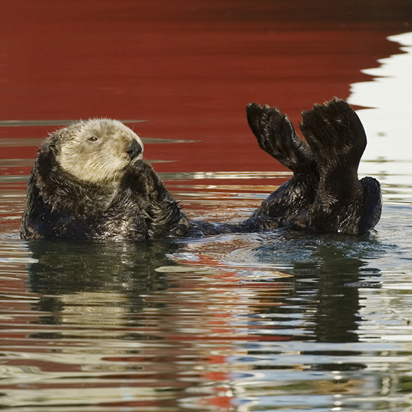 Sea Otter, COPYRIGHT Carrie Vonderhaar