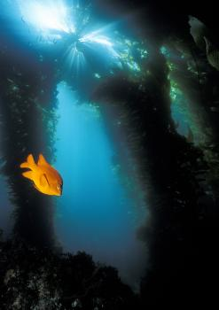 Garibaldi, California's state marine fish, glides through the kelp forest