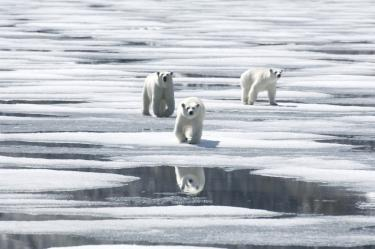 Polar Bears crossing the ice floe