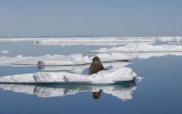 Walrus are one of many animals which depend on Ice Cover in the Arctic