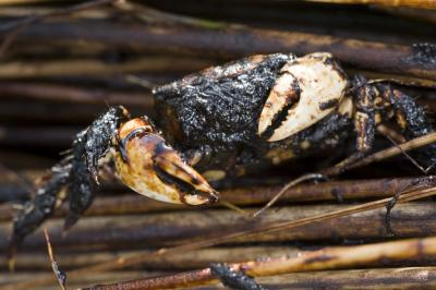 Oil soaked crab in the Louisiana marshes