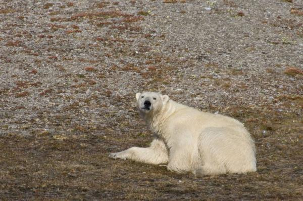 Polar Bear Image Copyright Carrie Vonderhaar, Ocean Futures Society
