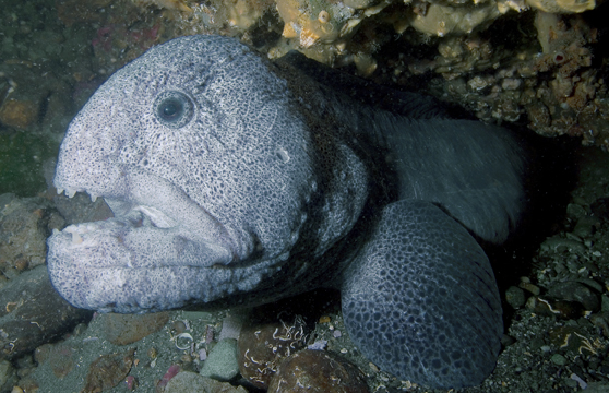 Wolf Eels Lazy Lovers Of The Pacific Ocean Futures Society